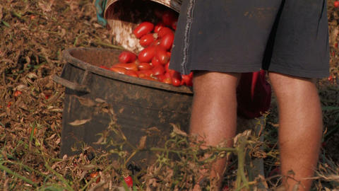 Workers harvesting tomatoes Footage