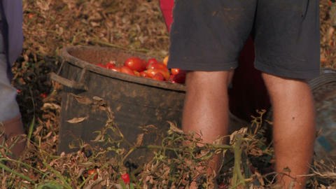 Workers harvesting tomatoes Stock Video Footage