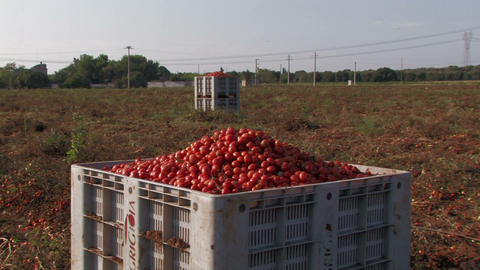 Large crates of tomatoes Footage