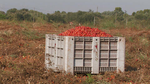 Large crate of tomatoes Footage