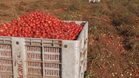 Large crate of tomatoes Stock Video Footage
