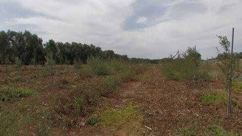 Field of tomatoes and olive trees Stock Video Footage