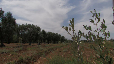 Olive tree branches in the wind Stock Video Footage