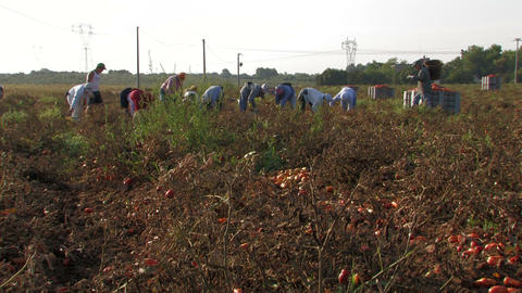 Workers collecting tomatoes Stock Video Footage