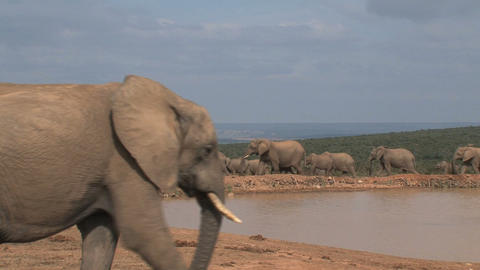 Big elephant Footage