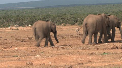 Little Elephants Footage