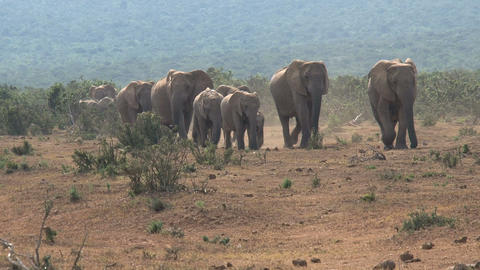 Big herd elephants Stock Video Footage