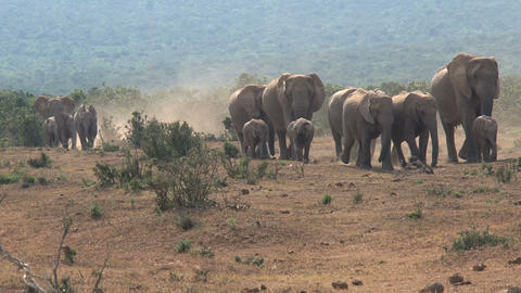 Big herd elephants Footage