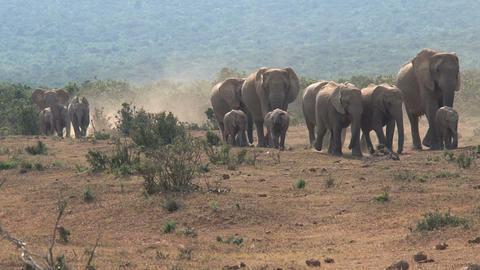 Big herd elephants Stock Video Footage