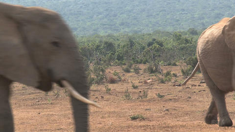Two big male (bull) elephants Stock Video Footage