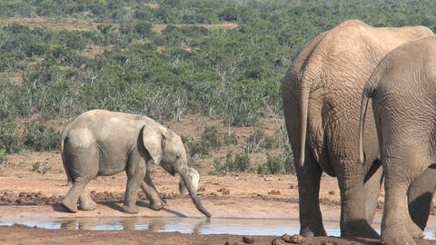 Litlle elephant drinking Stock Video Footage