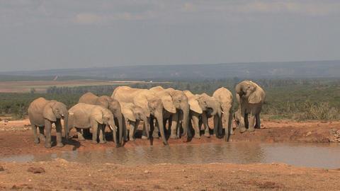 Big group of elephants Footage