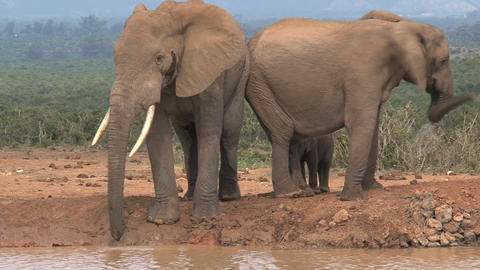 Family group elephants Stock Video Footage