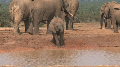 Little Elephant drinking Stock Video Footage