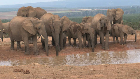 Big group elephants drinking Stock Video Footage