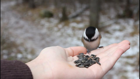 Bird eating sunflower seeds from hand Footage