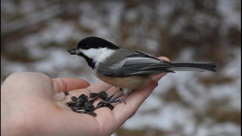 Bird eating sunflower seeds from hand Footage