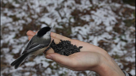Bird eating sunflower seeds from hand Stock Video Footage