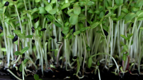 Growing sunflower sprouts Stock Video Footage