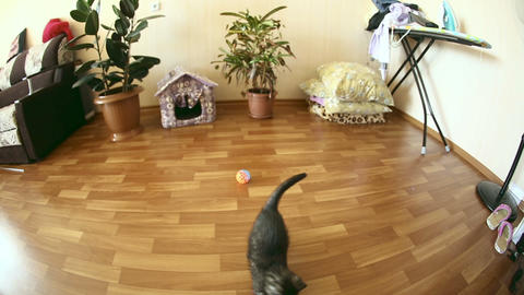 Playful kitten Footage