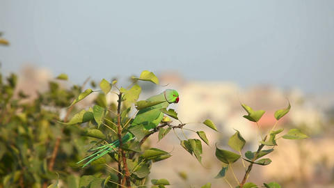 Rose-ringed Parakeet Stock Video Footage