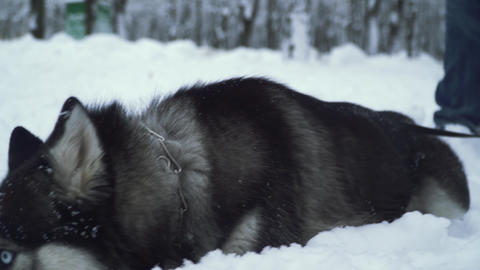 Beautiful siberian husky with wonderful eyes digging his snout in the snow in Footage