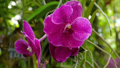 Blooming twig of purple orchid Live Action