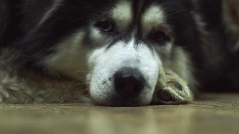 Close-up of a husky muzzle with sad eyes lying on the floor in the living room Live Action