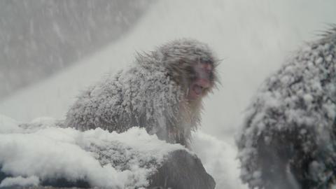 SnowMonkey - Intimidating monkey - sound include GIF