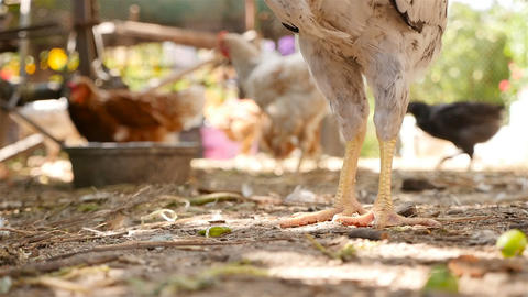 Chicken walks on the ground. Close-up. Slow motion Live Action