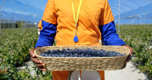 Female worker carry blueberries in blueberry farm 4k Live Action