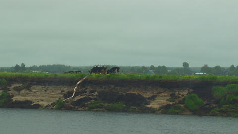 Cows are on the banks of River Footage