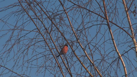 Bullfinch on the branches of a birch 영상물
