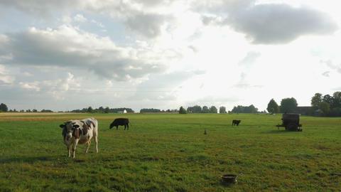 Farm cattle grazing in field Footage