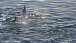 Orcas whales (aka) Killer whales in Alaska as seen from cruise ship Live Action