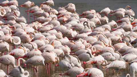 Pink flamingos on the lake Footage