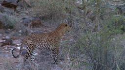A leopard walks away Footage