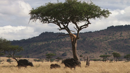 A lion climbs a tree to eascape attacking buffalos Footage