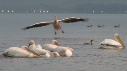 A Pelican Landing In A Lake Facing The Camera stock footage