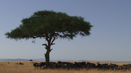 Widebeests resting under an acacia tree Footage