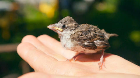 A little sparrow sits on a human hand. Close-up ビデオ
