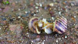 Snail couple make love Footage