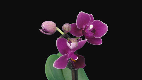 Time-lapse of opening dark purple Phalaenopsis orchid with ALPHA channel Footage