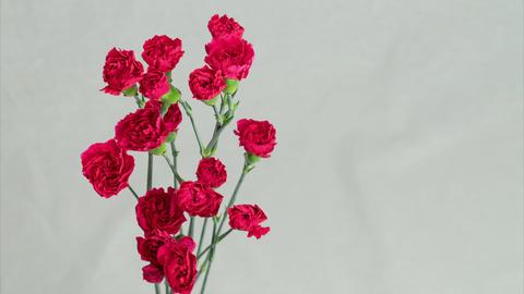 Beautiful flowering of carnation 영상물