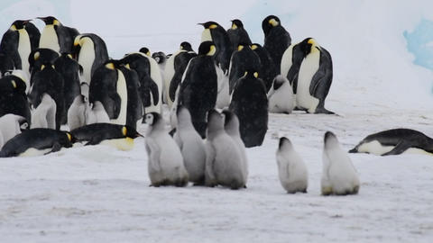 Emperor Penguin with chicks in Antarctica Live Action