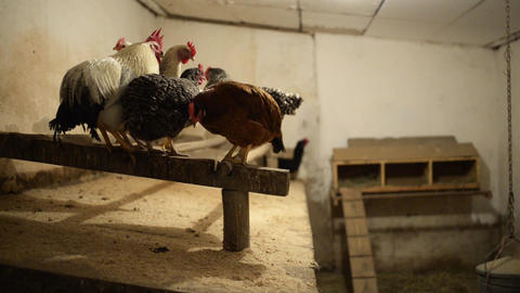 Organic chicken in a chicken house on the roost in the evening Footage