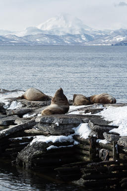 Rookery Steller Sea Lion or Northern Sea Lion. Kamchatka フォト