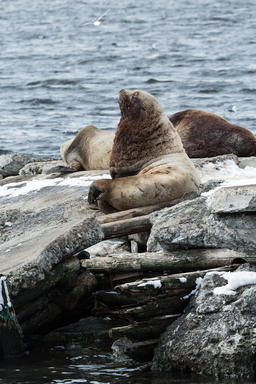 Rookery Northern Sea Lion or Steller Sea Lion. Kamchatka フォト