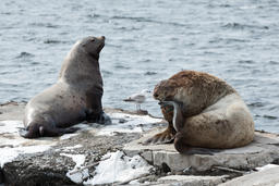 Rookery Northern Sea Lion or Steller Sea Lion. Kamchatka Peninsula フォト