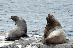 Rookery Northern Sea Lion (Steller Sea Lion) Kamchatka Peninsula Fotografía